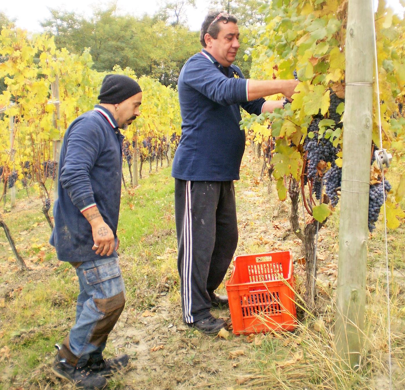 Fabrizio Merlo, titolare della Cantina Sylla Sebaste mentre vendemmia nel vigneto San Pietro delle Viole