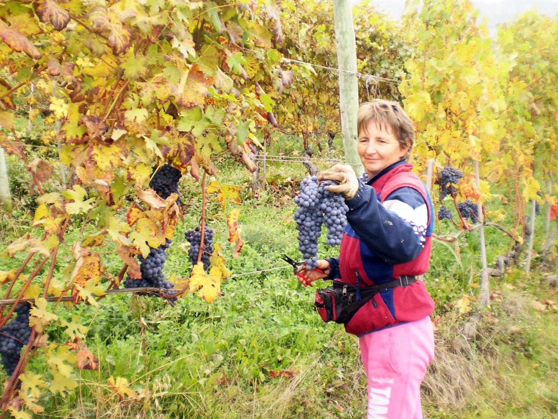 Splendidi grappoli di Nebbiolo da Barolo nei vigneti dell'azienda agrivinicola Sylla Sebaste